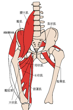 Anterior Hip Muscles 2 zh.png
