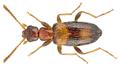 Anthicus crinitus Laferte, 1849 (2885758234).png