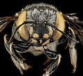 Anthidium maculifrons (head) from Fort Matanzas National Monument, Florida - USGS Bee Inventory and Monitoring Laboratory.jpg