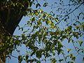 Antiaris toxicaria Lesch. (8364256803).jpg