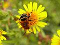 Apidae CBMen 2.JPG