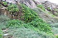 Apium australe Thouars (43487357220).jpg