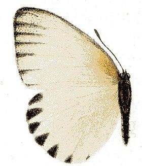 Hecyra (genus)