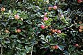 Apple growing in the churchyard of Church of St Peter and St Paul Upper Hardres Kent England.jpg