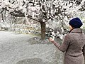 Apricot Blossom in Hunza Valley.jpg