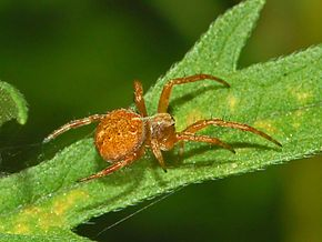 Description de l'image Araneidae - Agalenatea redii.JPG.