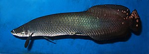 Arapaima - Arapaima leptosoma shown at its full length