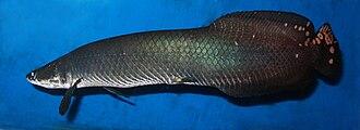 Arapaima - Arapaima leptosoma shown at its full length