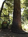 Araucaria Madre.jpg