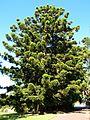 Araucaria cunninghamii (SRBG).jpg