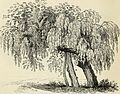 Arboretum et fruticetum britannicum, or - The trees and shrubs of Britain, native and foreign, hardy and half-hardy, pictorially and botanically delineated, and scientifically and popularly described (19128317864).jpg