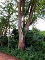 Arbre géant de la forêt sacrée de Pobé.jpg