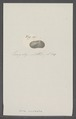 Arca nucleata - - Print - Iconographia Zoologica - Special Collections University of Amsterdam - UBAINV0274 076 04 0031.tif