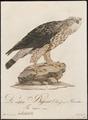Archibuteo lagopus - 1800-1812 - Print - Iconographia Zoologica - Special Collections University of Amsterdam - UBA01 IZ18200077.tif