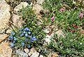 Arctic alpine forget-me-not - Flickr - brewbooks.jpg