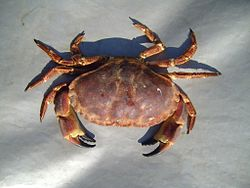 Arge edible crab.jpg