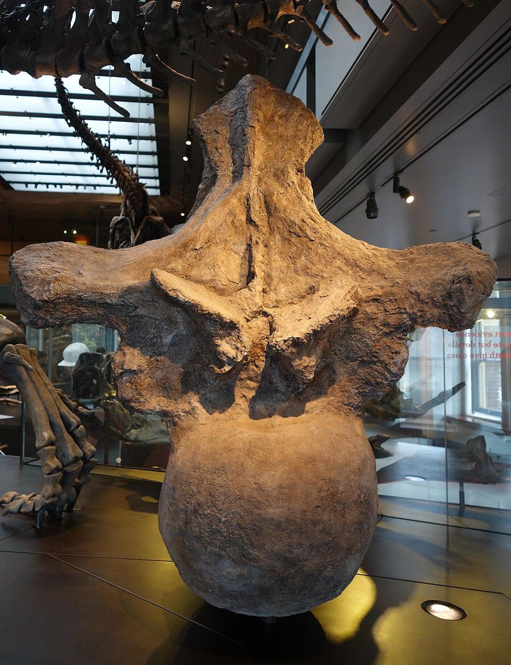Argentinosaurus dorsal LA County Museum 1.jpg