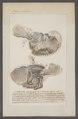 Argonauta spec. - ingewanden - - Print - Iconographia Zoologica - Special Collections University of Amsterdam - UBAINV0274 090 01 0009.tif