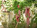 Aristolochia gigantea I.JPG
