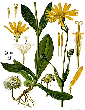 Arnica montana - 1897 illustration