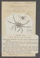 Artamus - Print - Iconographia Zoologica - Special Collections University of Amsterdam - UBAINV0274 068 09 0019.tif