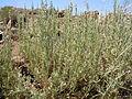 Artemisia nova (23440379321).jpg
