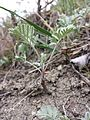 Artemisia pancicii sl14.jpg