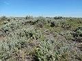 Artemisia tridentata subspecies wyomingensis (27316046080).jpg