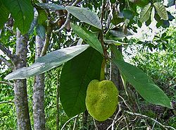 Artocarpus odoratissimus