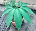 Arum Cornutum.png