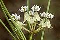 Asclepias subverticillata - Flickr - aspidoscelis (2).jpg