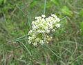 Asclepias verticillata Western Highland Rim.jpg