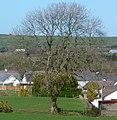 Ash (Fraxinus excelsior) Wales 190310 (Tony Holkham).jpg