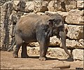 Asian-Elephant-Jerusalem-Jerusalem-Biblical-Zoo-IZE-281.jpg