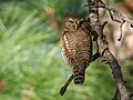 Asian Barred Owlet (Glaucidium cuculoides) (31976475447).jpg