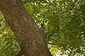 Asian Keol (Eudynamys scolopaceus) from Tiruppur JEG0416.jpg