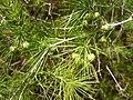 Asparagus laricinus 3.jpg