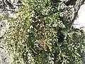 Aspenium ruta-muraria1.JPG