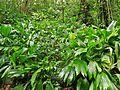 Asplundia insignis(leaves).jpg