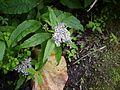 Aster albescens (7840040496).jpg
