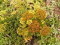 Astydamia latifolia (Los Sauces) 01 ies.jpg