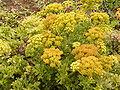 Astydamia latifolia (Los Sauces) 04 ies.jpg