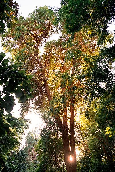 أصحابى وصحباتى ..تعرف / تعرفي على اجمل الحدائق في العالم / موضوع متجدد - صفحة 2 400px-Aswan%2C_Kitchener%27s_Island%2C_tree2%2C_Egypt%2C_Oct_2004