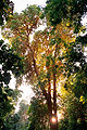 Aswan, Kitchener's Island, tree2, Egypt, Oct 2004.jpg