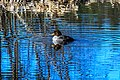 At Isobel lake…female Barrow's Goldeneye (8727146741).jpg