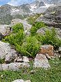 Athyrium distentifolium habitat.jpg