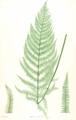 Athyrium filix-femina Moore32.png