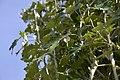 Atlas roslin pl Topola biała 7521 7635.jpg