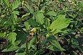 Atropa belladonna kz04.jpg