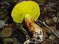 Aureoboletus flaviporus 34381.jpg